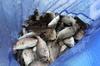 奥松島と塩釜でマダイの稚魚放流を実施!